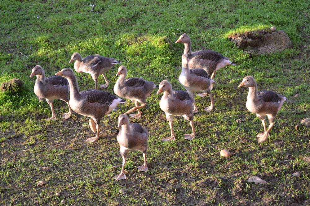 Gees hens