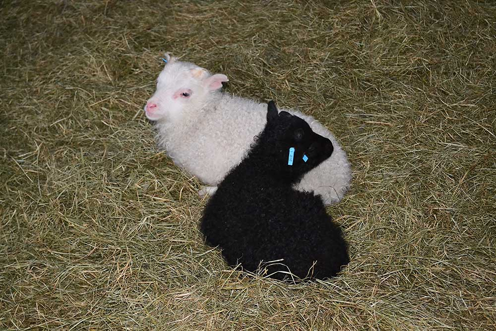 Two of our lambs
